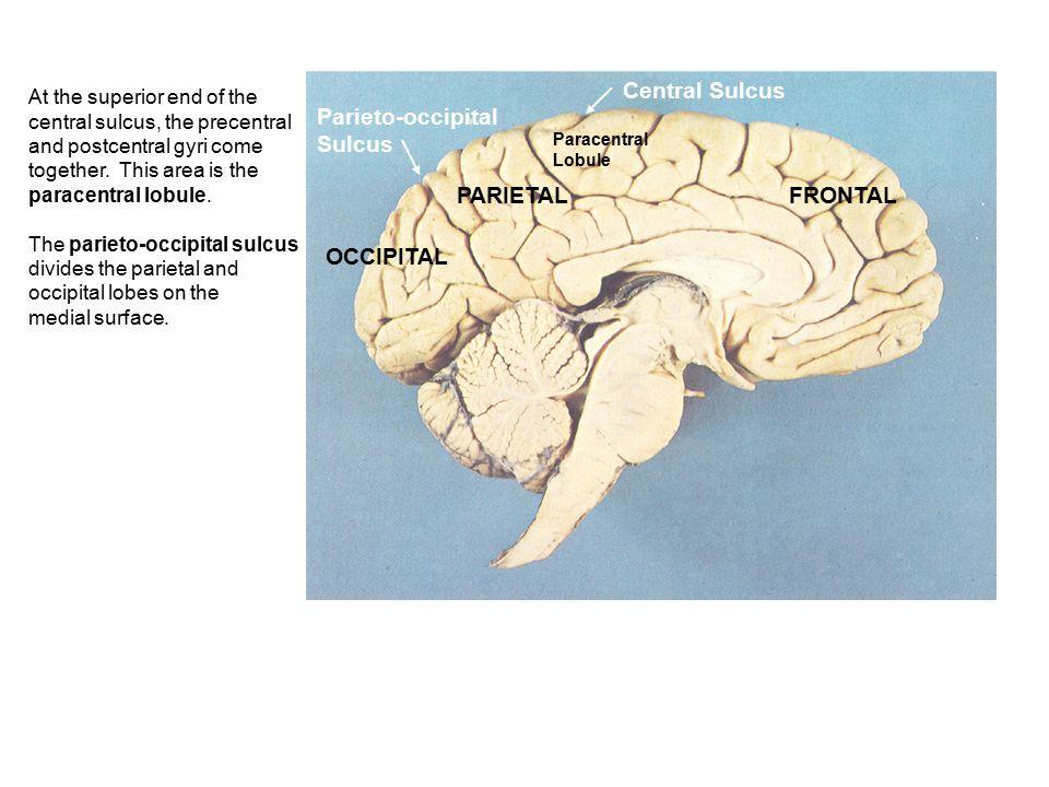 Central Sulcus Parieto-occipital Sulcus PARIETAL FRONTAL OCCIPITAL