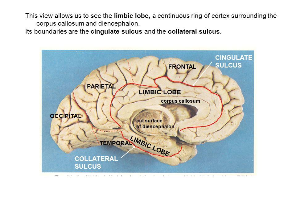 corpus callosum and diencephalon.