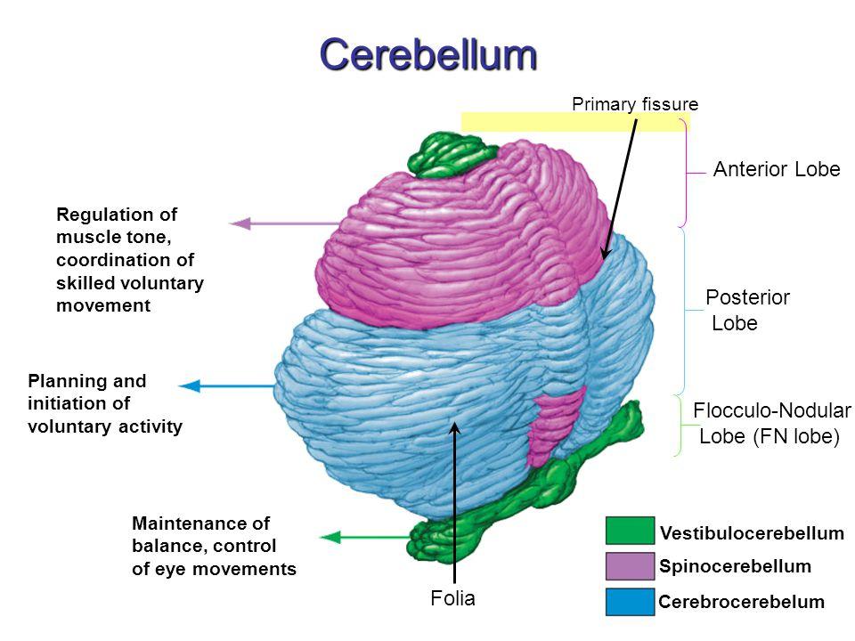 Cerebellum Anterior Lobe Posterior Lobe