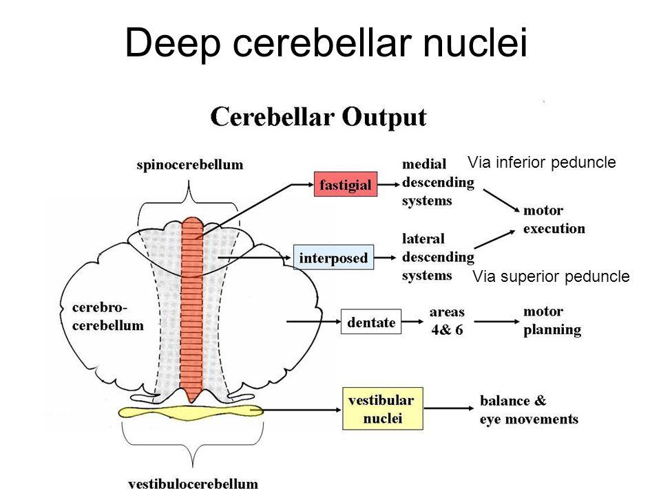 Deep cerebellar nuclei