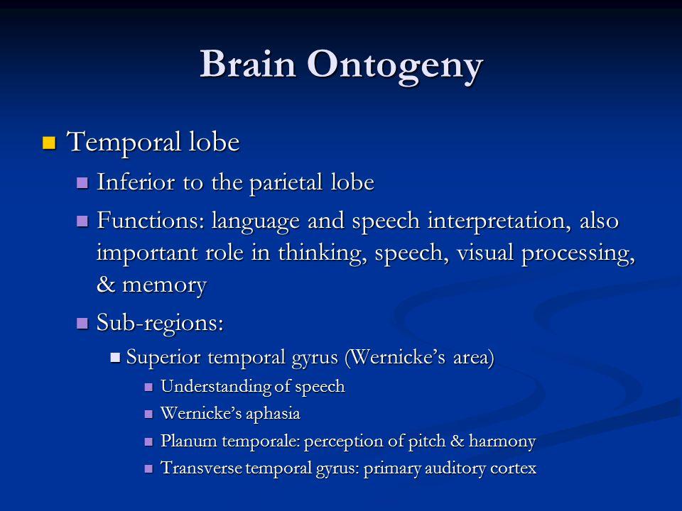 Brain Ontogeny Temporal lobe Inferior to the parietal lobe