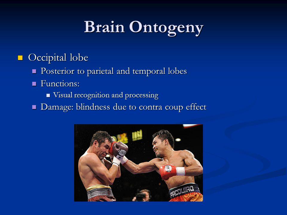 Brain Ontogeny Occipital lobe Posterior to parietal and temporal lobes