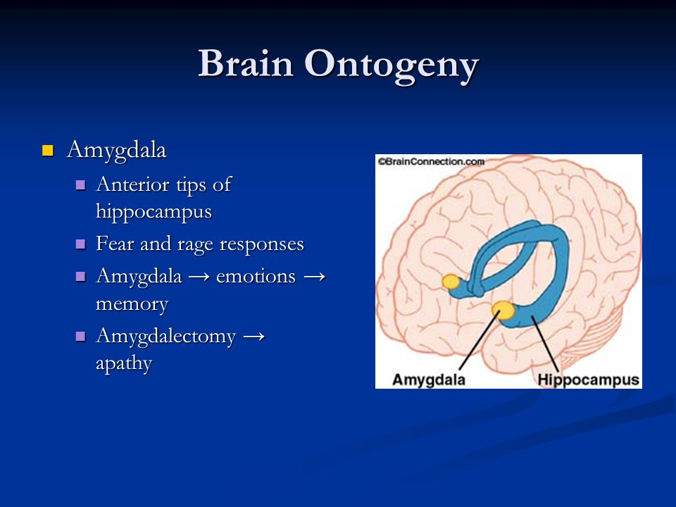 Brain Ontogeny Amygdala Anterior tips of hippocampus
