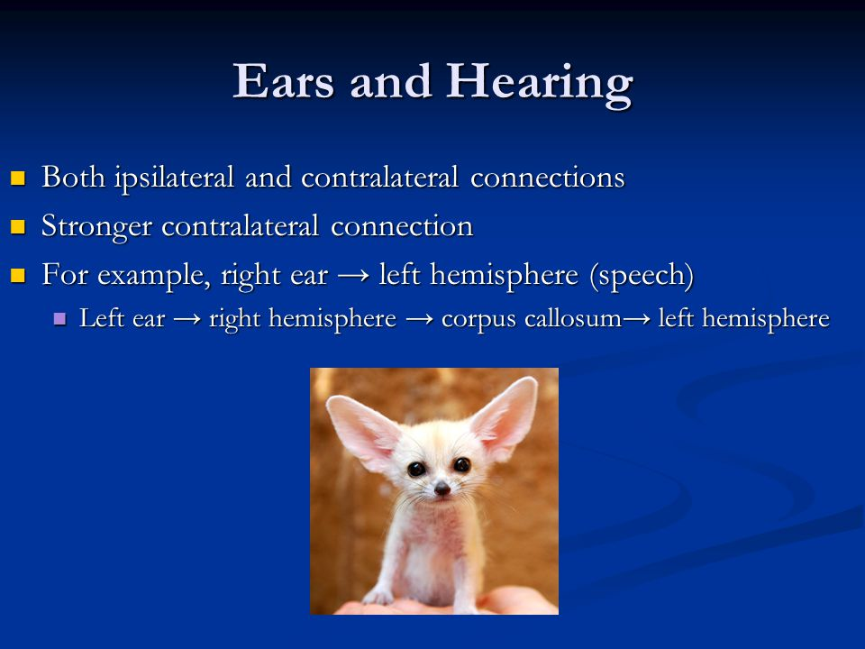 Ears and Hearing Both ipsilateral and contralateral connections
