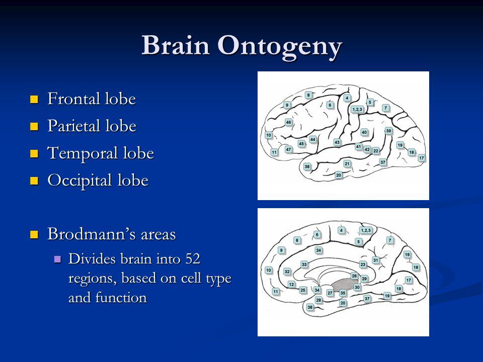 Brain Ontogeny Frontal lobe Parietal lobe Temporal lobe Occipital lobe