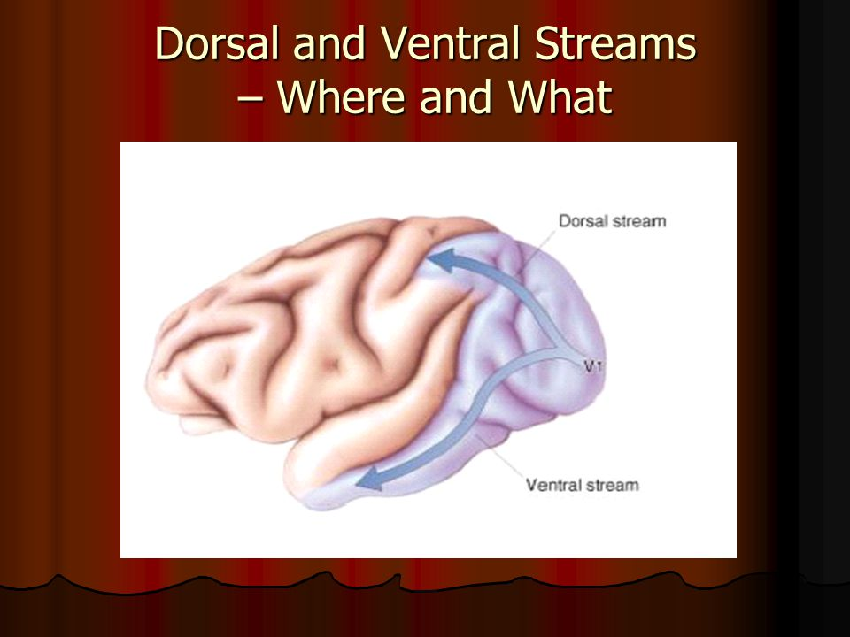 Dorsal and Ventral Streams – Where and What