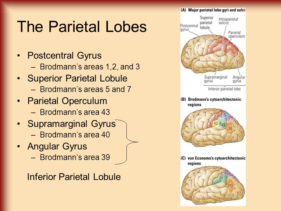 The Parietal Lobes Postcentral Gyrus Superior Parietal Lobule