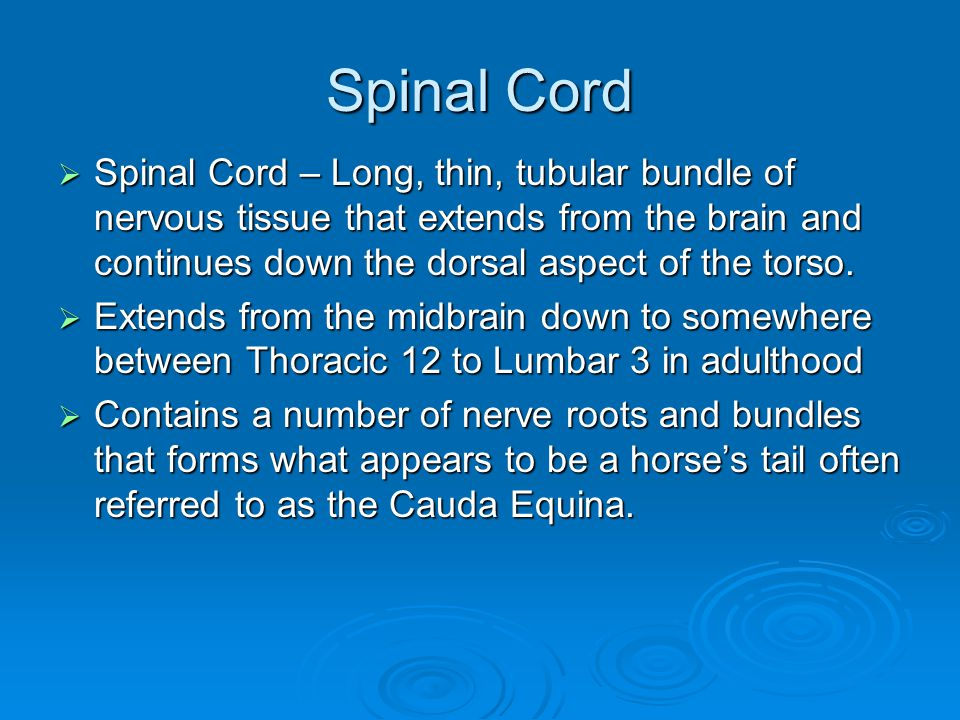 Spinal Cord Spinal Cord – Long, thin, tubular bundle of nervous tissue that extends from the brain and continues down the dorsal aspect of the torso.