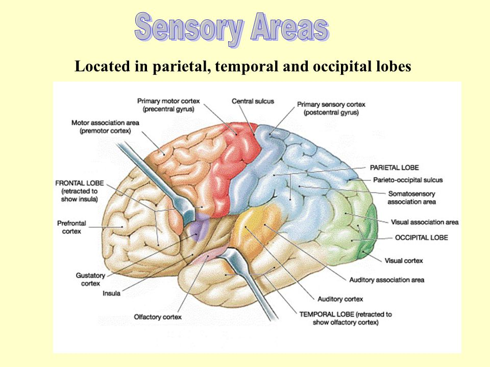 Sensory Areas Located in parietal, temporal and occipital lobes