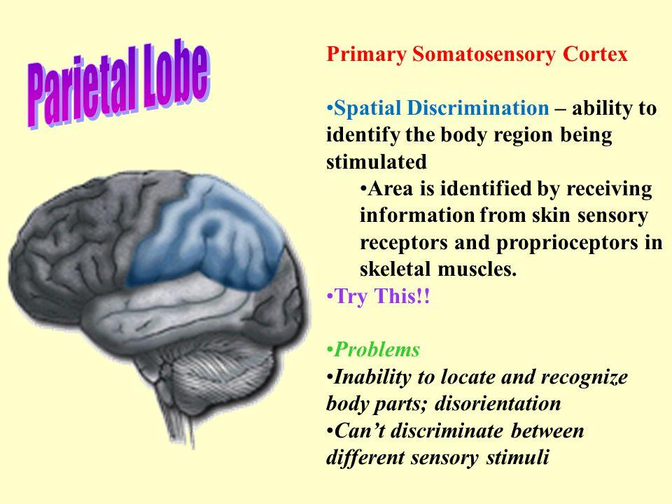 Parietal Lobe Primary Somatosensory Cortex