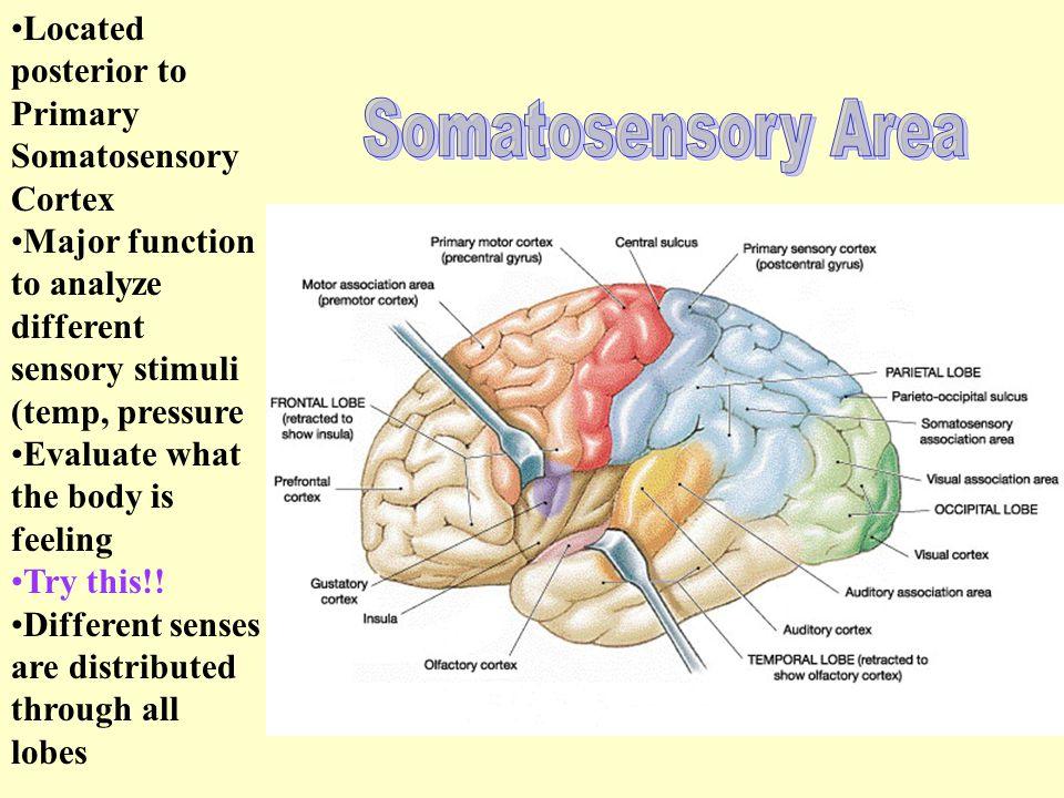 Somatosensory Area Located posterior to Primary Somatosensory Cortex
