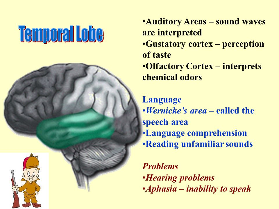 Temporal Lobe Auditory Areas – sound waves are interpreted