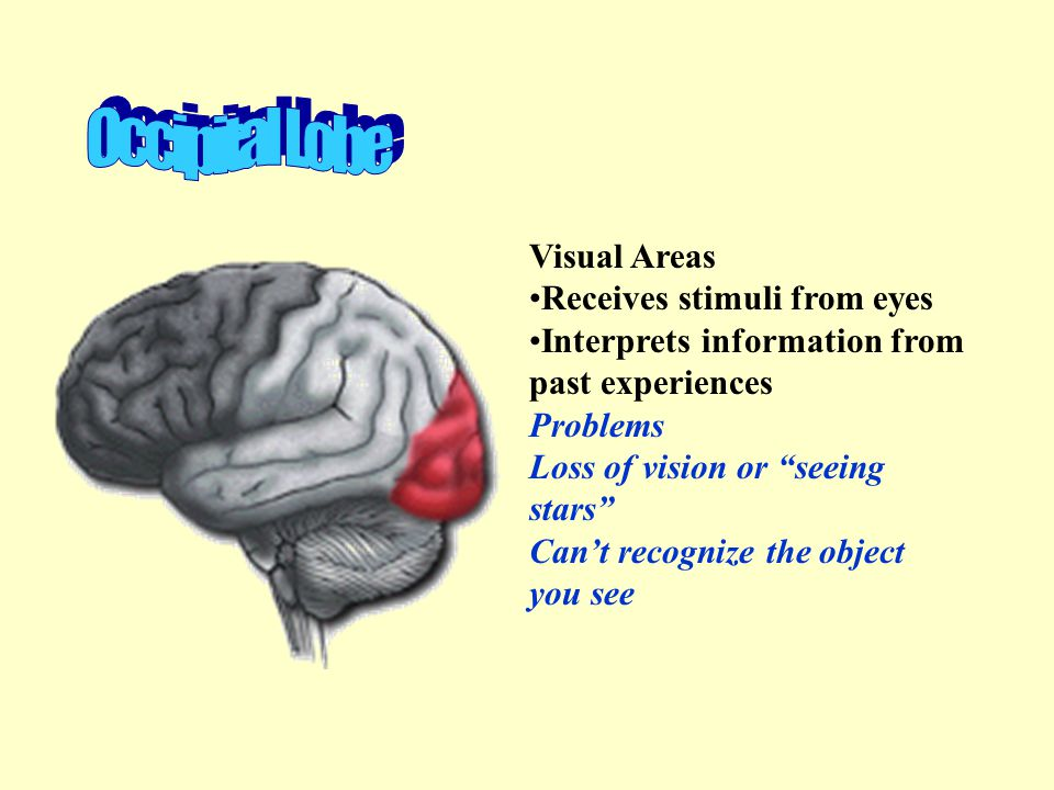 Occipital Lobe Visual Areas Receives stimuli from eyes