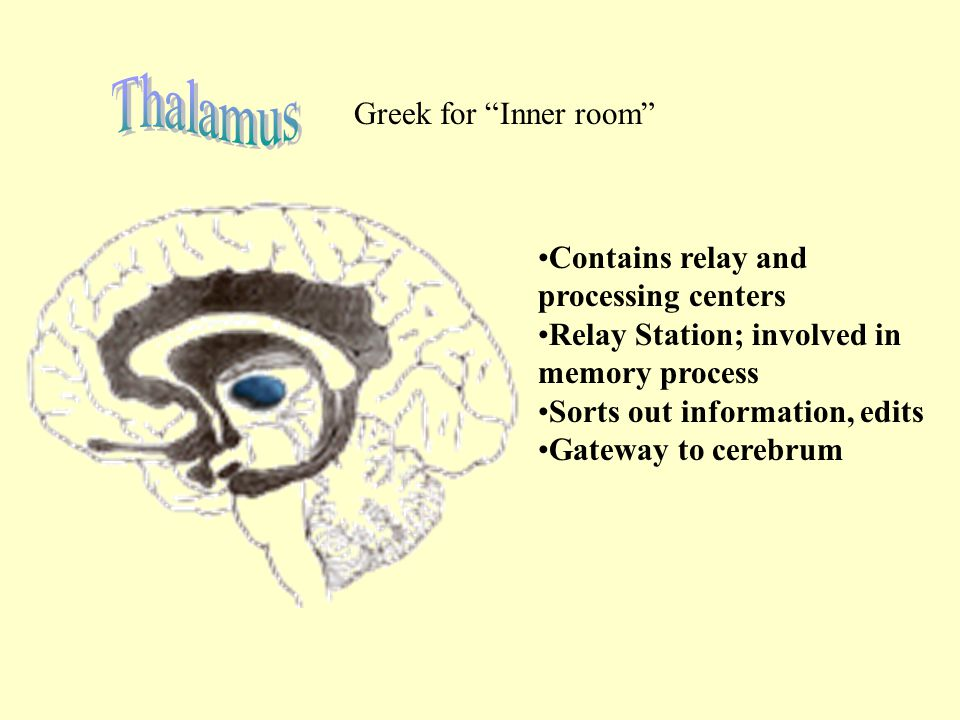 Thalamus Greek for Inner room Contains relay and processing centers