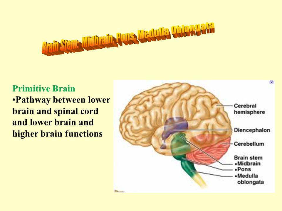 Brain Stem: Midbrain, Pons, Medulla Oblongata
