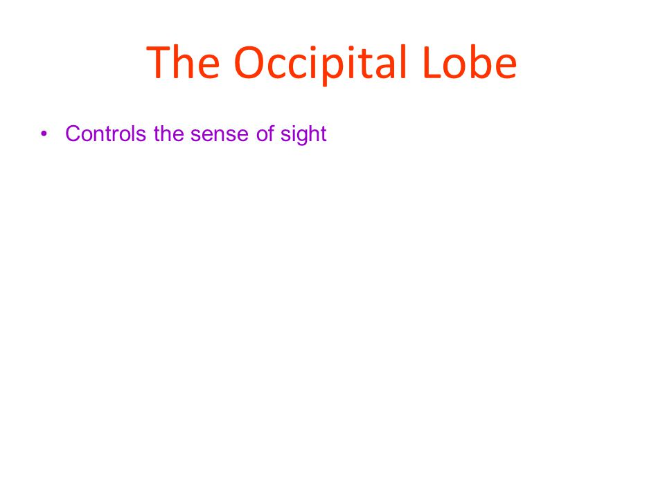 The Occipital Lobe Controls the sense of sight