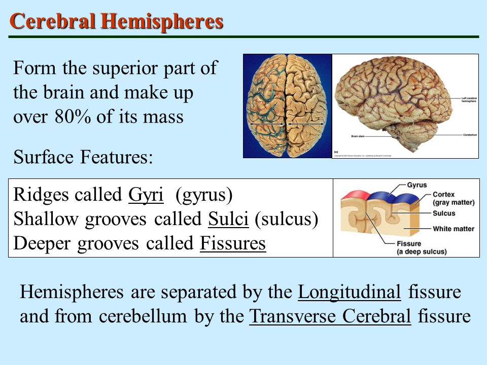 Cerebral Hemispheres Form the superior part of the brain and make up over 80% of its mass. Surface Features: