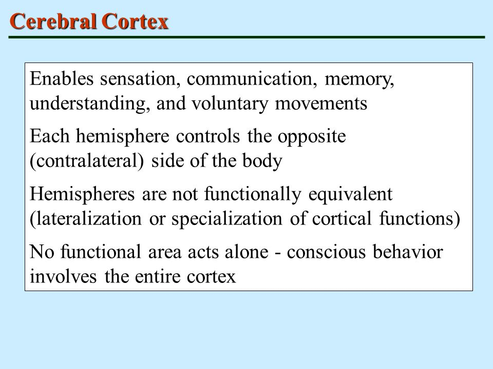 Cerebral Cortex Enables sensation, communication, memory, understanding, and voluntary movements.