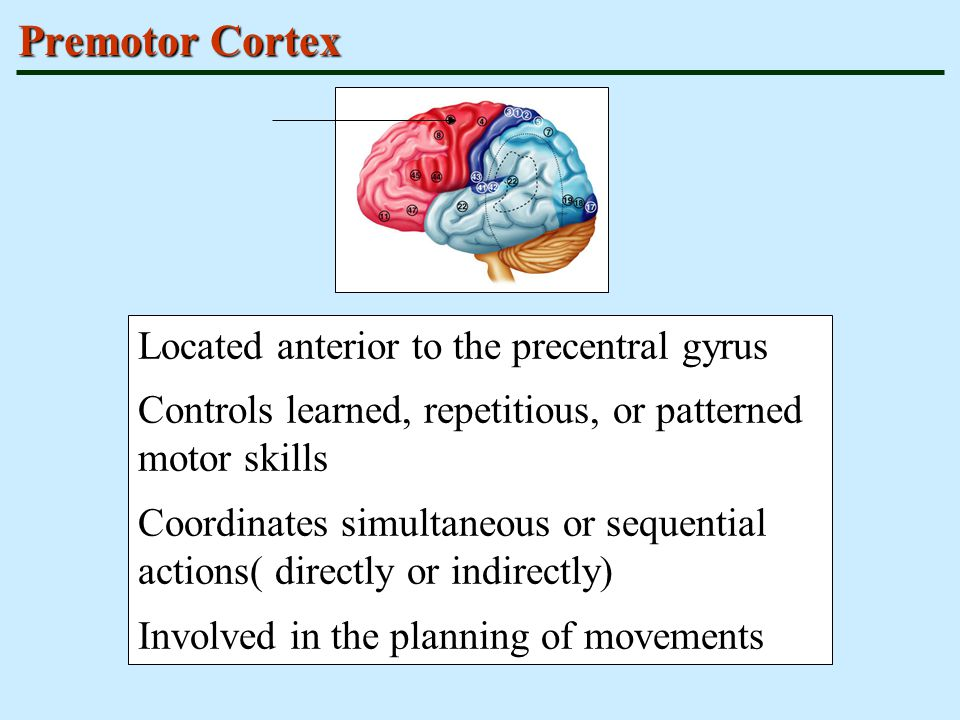 Premotor Cortex Located anterior to the precentral gyrus