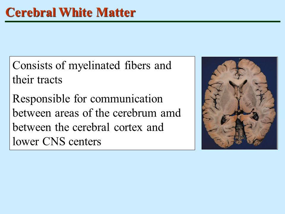 Cerebral White Matter Consists of myelinated fibers and their tracts