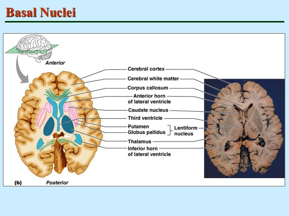 Basal Nuclei