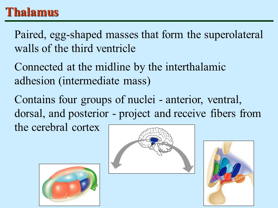 Thalamus Paired, egg-shaped masses that form the superolateral walls of the third ventricle.