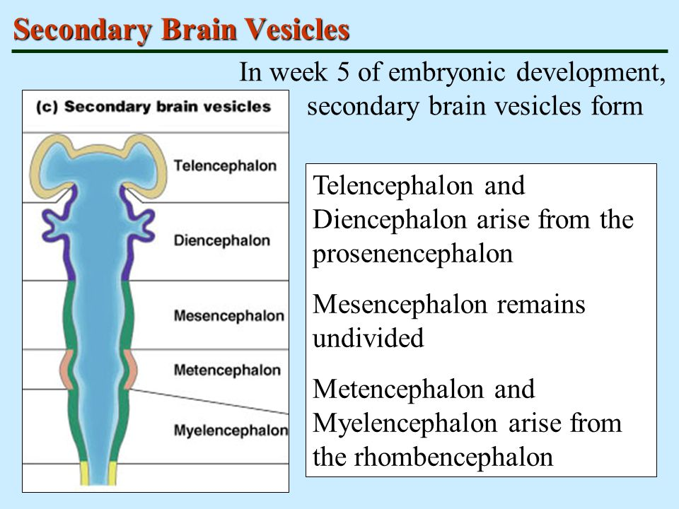 Secondary Brain Vesicles
