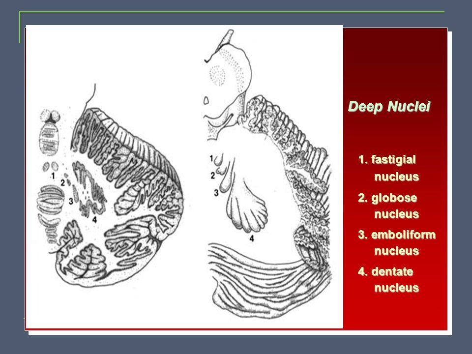 Deep Nuclei 1. fastigial nucleus 2. globose 3. emboliform 4. dentate