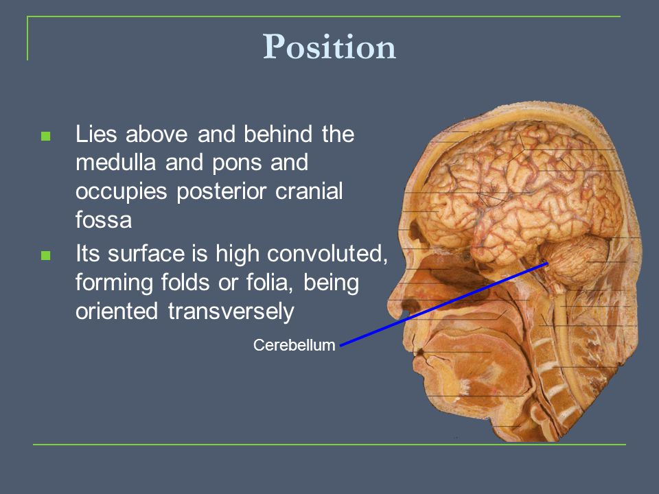 Position Lies above and behind the medulla and pons and occupies posterior cranial fossa.