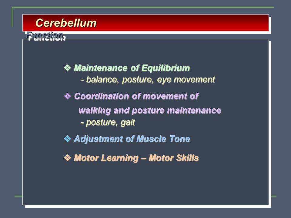 Cerebellum Function  Maintenance of Equilibrium