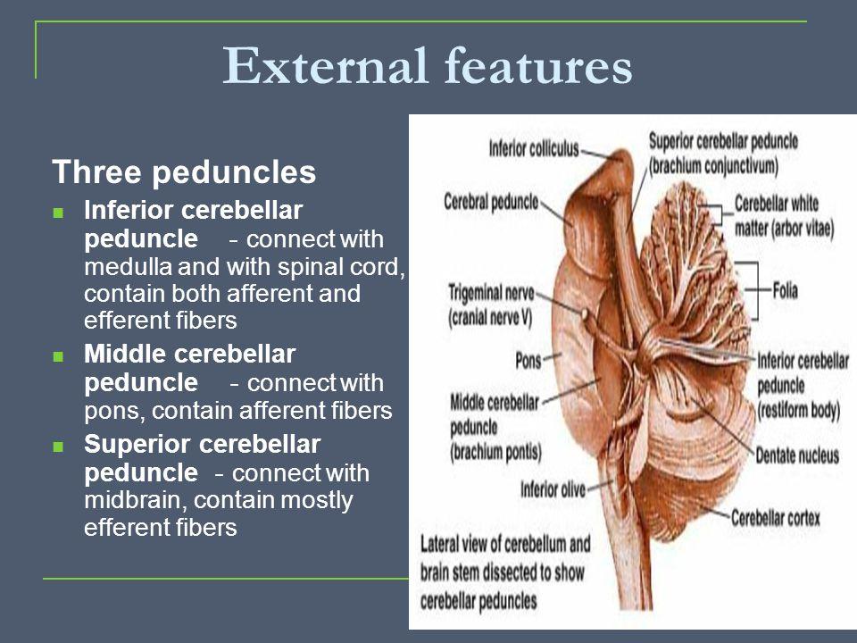 External features Three peduncles