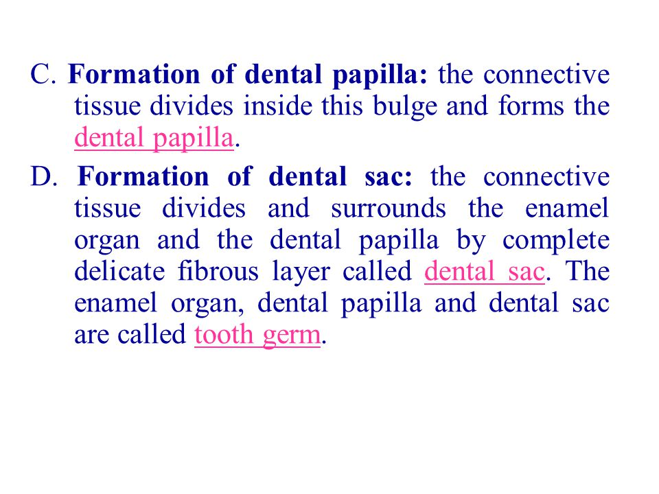 C. Formation of dental papilla: the connective tissue divides inside this bulge and forms the dental papilla.