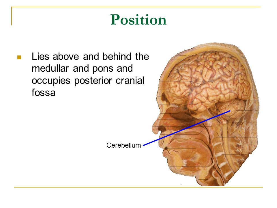 Position Lies above and behind the medullar and pons and occupies posterior cranial fossa.