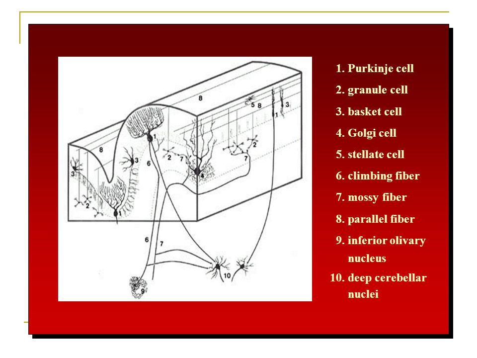 1. Purkinje cell 2. granule cell. 3. basket cell. 4. Golgi cell. 5. stellate cell. 6. climbing fiber.
