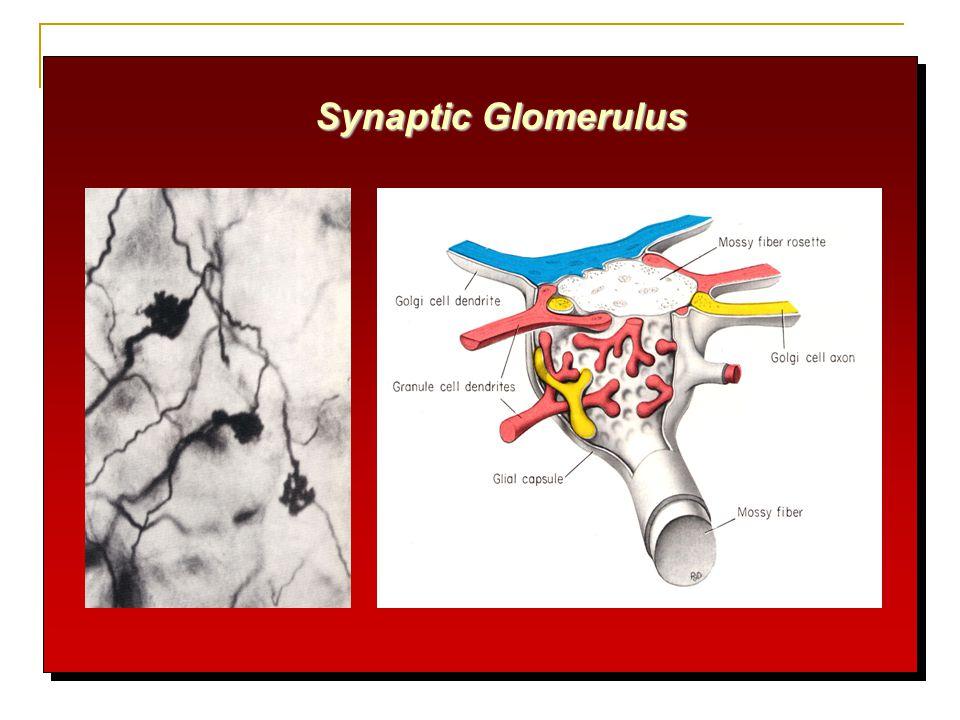 Synaptic Glomerulus