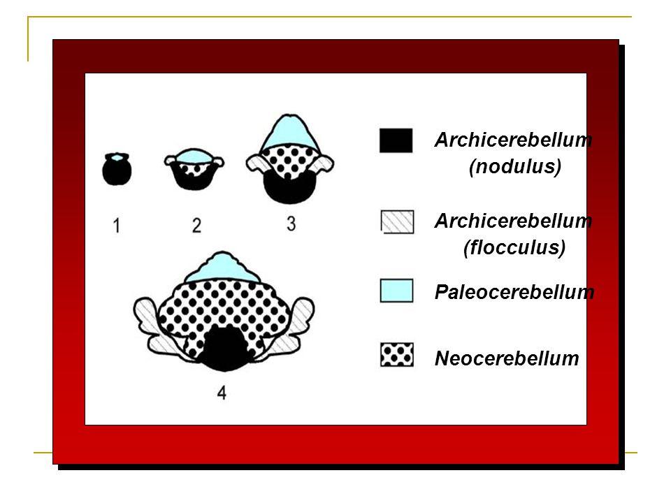 Archicerebellum (nodulus) (flocculus) Paleocerebellum Neocerebellum