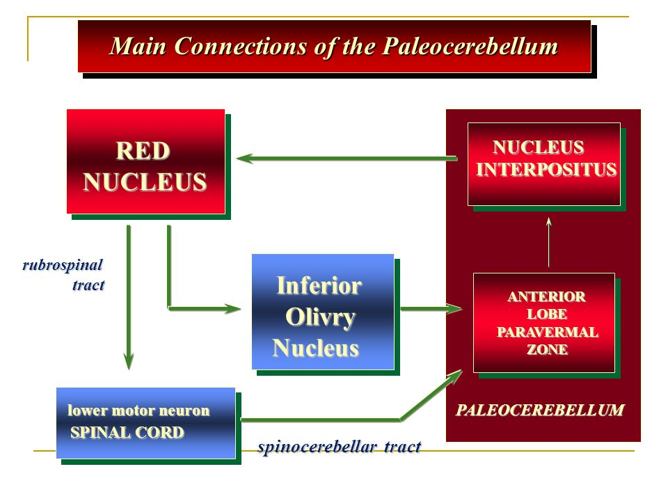 Main Connections of the Paleocerebellum