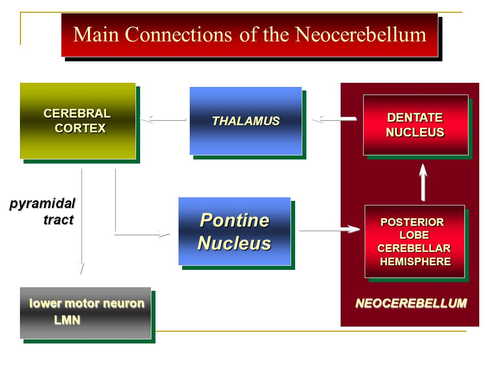 Main Connections of the Neocerebellum