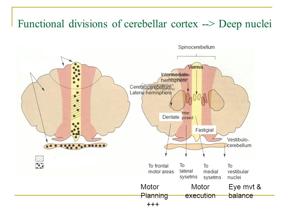 Functional divisions of cerebellar cortex --> Deep nuclei