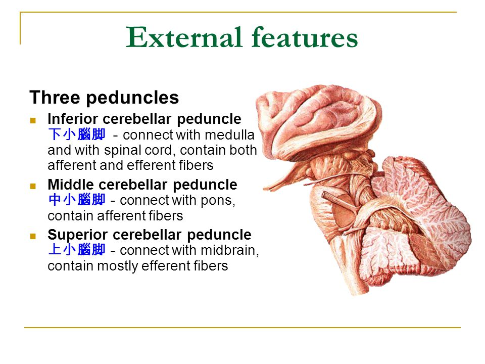 External features Three peduncles
