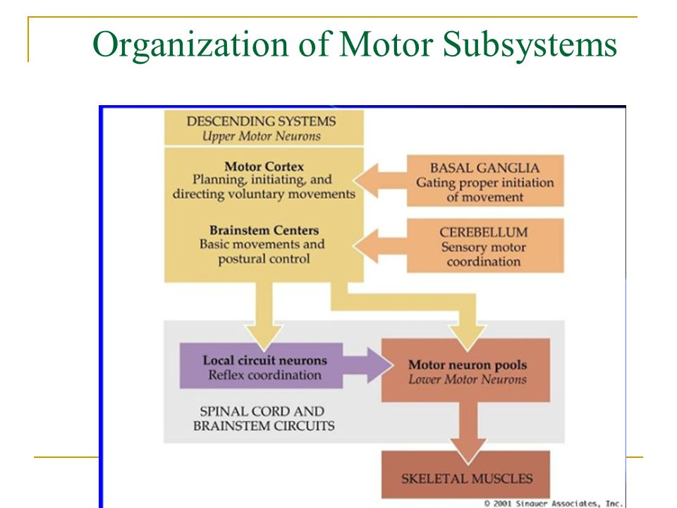 Organization of Motor Subsystems