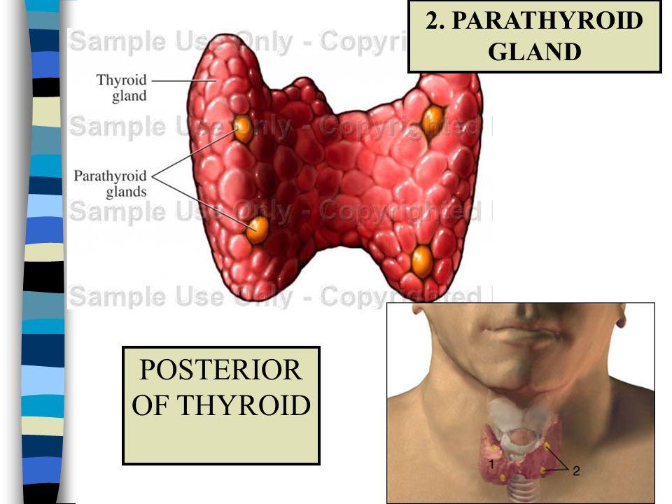2. PARATHYROID GLAND POSTERIOR OF THYROID