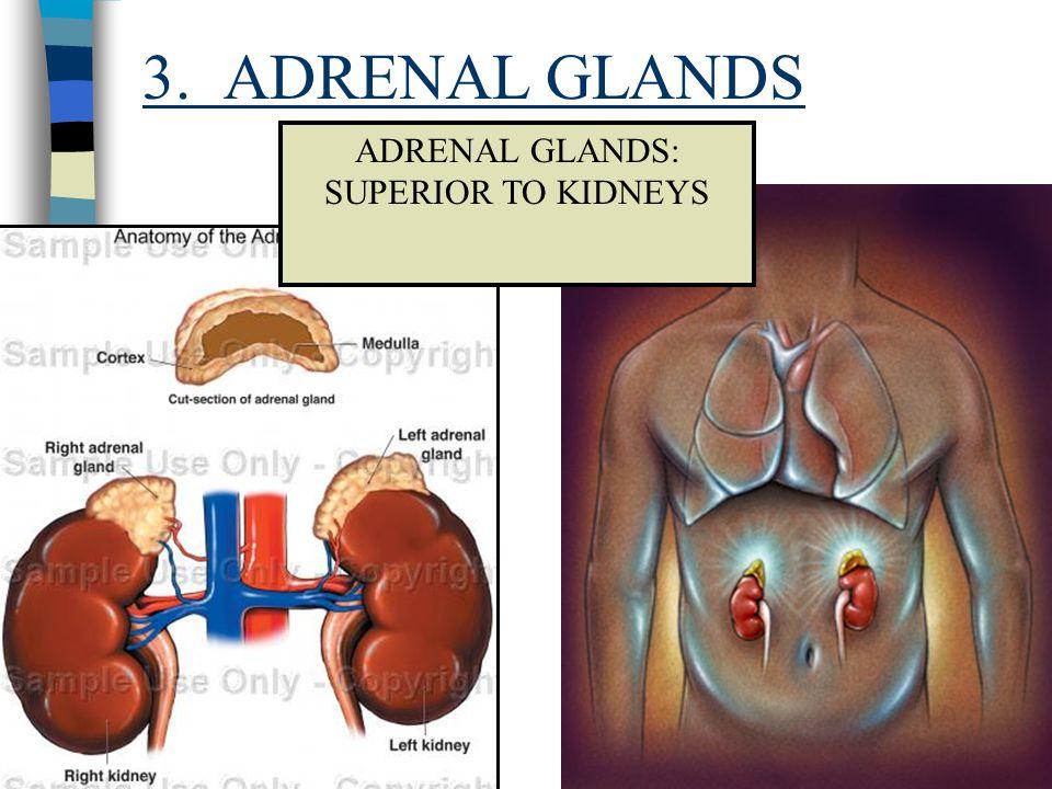 ADRENAL GLANDS: SUPERIOR TO KIDNEYS