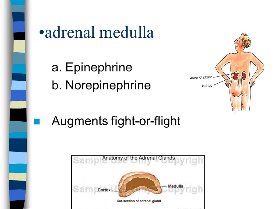 adrenal medulla a. Epinephrine b. Norepinephrine