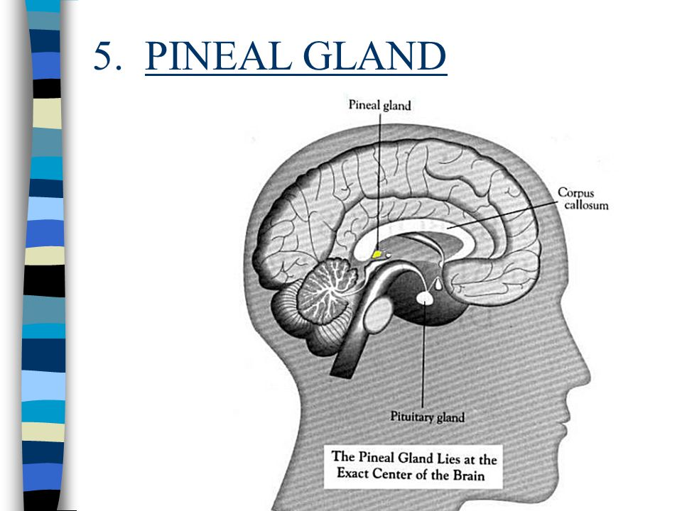 5. PINEAL GLAND