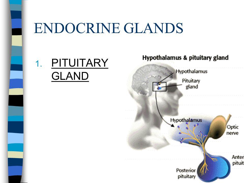 ENDOCRINE GLANDS PITUITARY GLAND