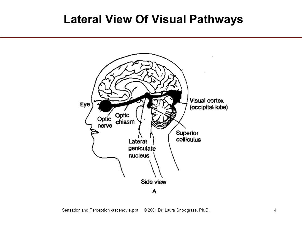 Lateral View Of Visual Pathways