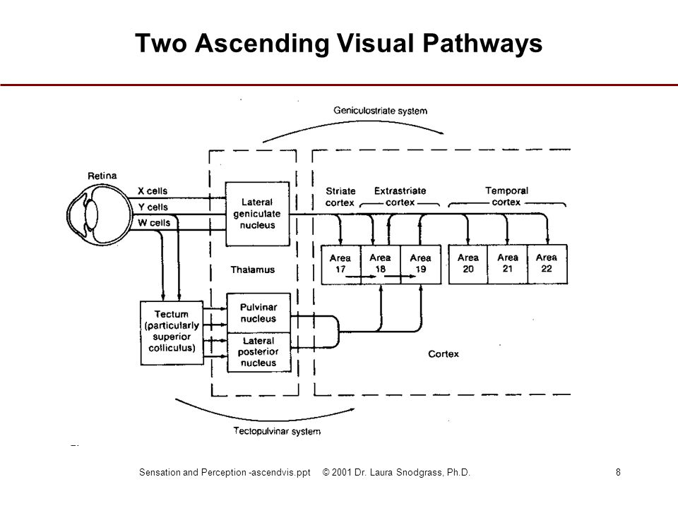 Two Ascending Visual Pathways
