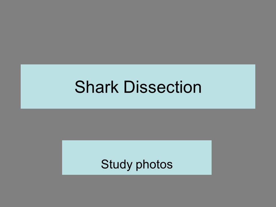 Shark Dissection Study photos