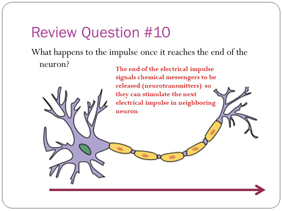 Review Question #10 What happens to the impulse once it reaches the end of the neuron